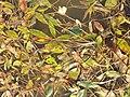 Potamogeton nodosus sl42.jpg