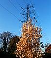 Powerful tree in Sutton - Flickr - tonymonblat.jpg