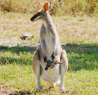 Wildlife Preservation Society of Queensland - Whiptail Wallaby