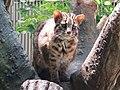 Prionailurus bengalensis euptilurus tsushima cat.jpg