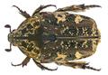 Protaetia (Heteroprotaetia) fusca (Herbst, 1790) (21684150684).png