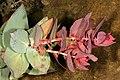 Protea amplexicaulis 1DS-II 2-3653.jpg
