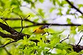 Prothonotary warbler (41472859411).jpg