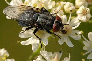Protocalliphora - Protocalliphora azurea