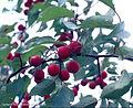 Prunus Rivularis.jpg