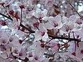 Prunus cerasifera pisardii.003 - La Virgen del Camino (Leon).jpg