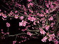 Prunus mume0.jpg