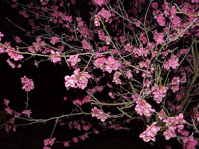fleurs de l'abricotier du japon prisent de nuit