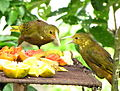 Psarocolius angustifrons -Aragua State -Venezuela-8.jpg