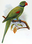 Drawing of green parrot with blue neck ring, red beak, and red wing patch