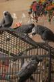 Psittacus erithacus -pet parrots -family-6a.png