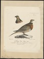 Pterocles alchata - 1825-1834 - Print - Iconographia Zoologica - Special Collections University of Amsterdam - UBA01 IZ16900037.tif