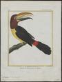 Pteroglossus viridis - 1700-1880 - Print - Iconographia Zoologica - Special Collections University of Amsterdam - UBA01 IZ19300240.tif