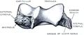 Quain's elements of anatomy (1891) - Vol2 Part1- Fig 093.png