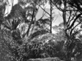 Queensland State Archives 426 Bush land Lamington National Park Beaudesert Shire September 1933.png