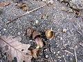 Quercus frainetto Bosilegrad 4.JPG