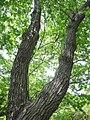 Quercus serrata 03.jpg