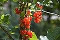 Röda vinbär 0006.jpg