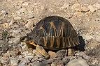 Radiated tortoise (Astrochelys radiata) Tsimanampetsotsa.jpg