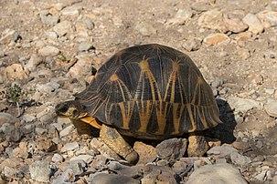 Une tortue étoilée de Madagascar. (définition réelle 6000×4000)
