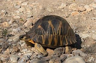 Radiated tortoise species of reptile