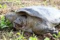Rafetus euphraticus - shush-khozestan لاکپشت فراتی- حاشیه رود شاوور.jpg