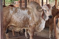 Raghav Gir bull at Hyderabad.jpg