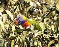 Rainbow Lorikeet (Trichoglossus moluccanus) - Lip Kee (2).jpg