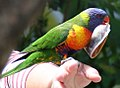 Rainbow lorikeet with ready cash (31532085812).jpg