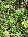 Ranunculus gmelinii 6-eheep (5097961618).jpg