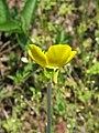 Ranunculus illyricus flower.JPG
