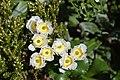 Ranunculus lyallii in Fiordland National Park 02.jpg