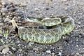 Rattlesnake in Camp Roberts -b.jpg