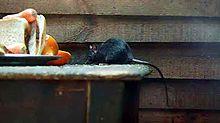 Rato-preto