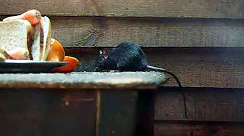 rat noir, Rattus rattus