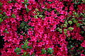 Red-azalea-spring-flowers - West Virginia - ForestWander.jpg