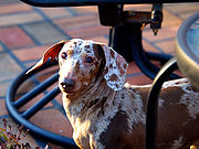 A red merle smooth-haired dachshund.