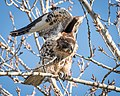Red-tailed Hawk (32406640251).jpg