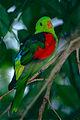 Red-winged Parrot (Aprosmictus erythropterus) (9875780233).jpg