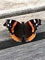 Red Admiral Butterfly Quebec.jpg