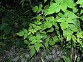 Red Raspberry 5 leaves.JPG