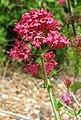 Red Valarian (Centranthus ruber) (3281430426).jpg