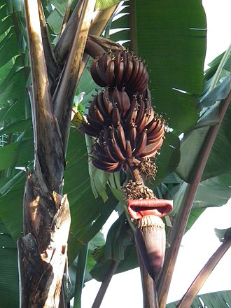 Red banana - Red banana plant from Tanzania showing fruits and inflorescence.