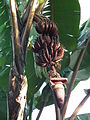 Red banana in Tanzania 0196 Nevit.jpg