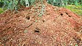 Red squirrel midden.jpg