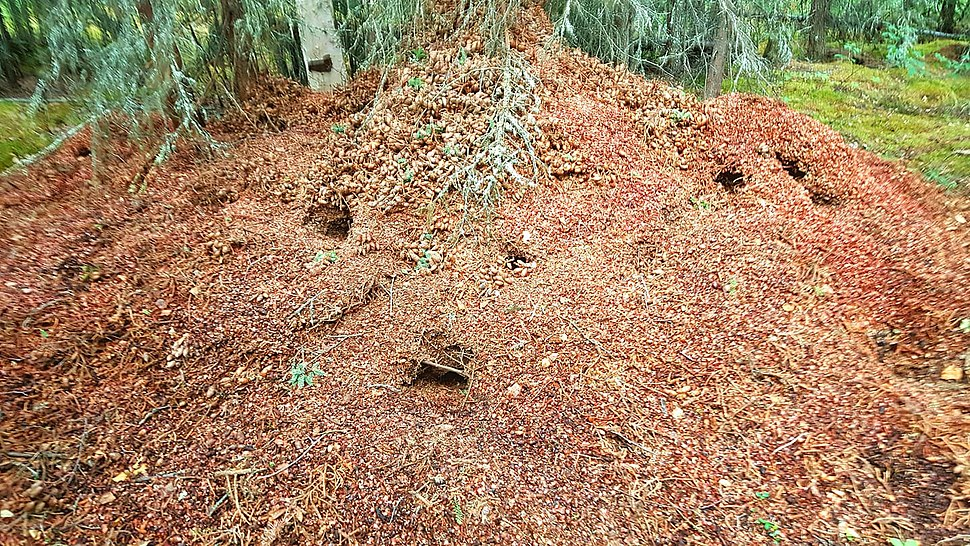 Red squirrel midden