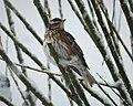Redwing. Turdus iliacus (38921440832).jpg
