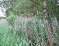 Reeds at Norbury Mere - geograph.org.uk - 190240.jpg