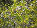 Rhamnus saxatilis2 2601.JPG