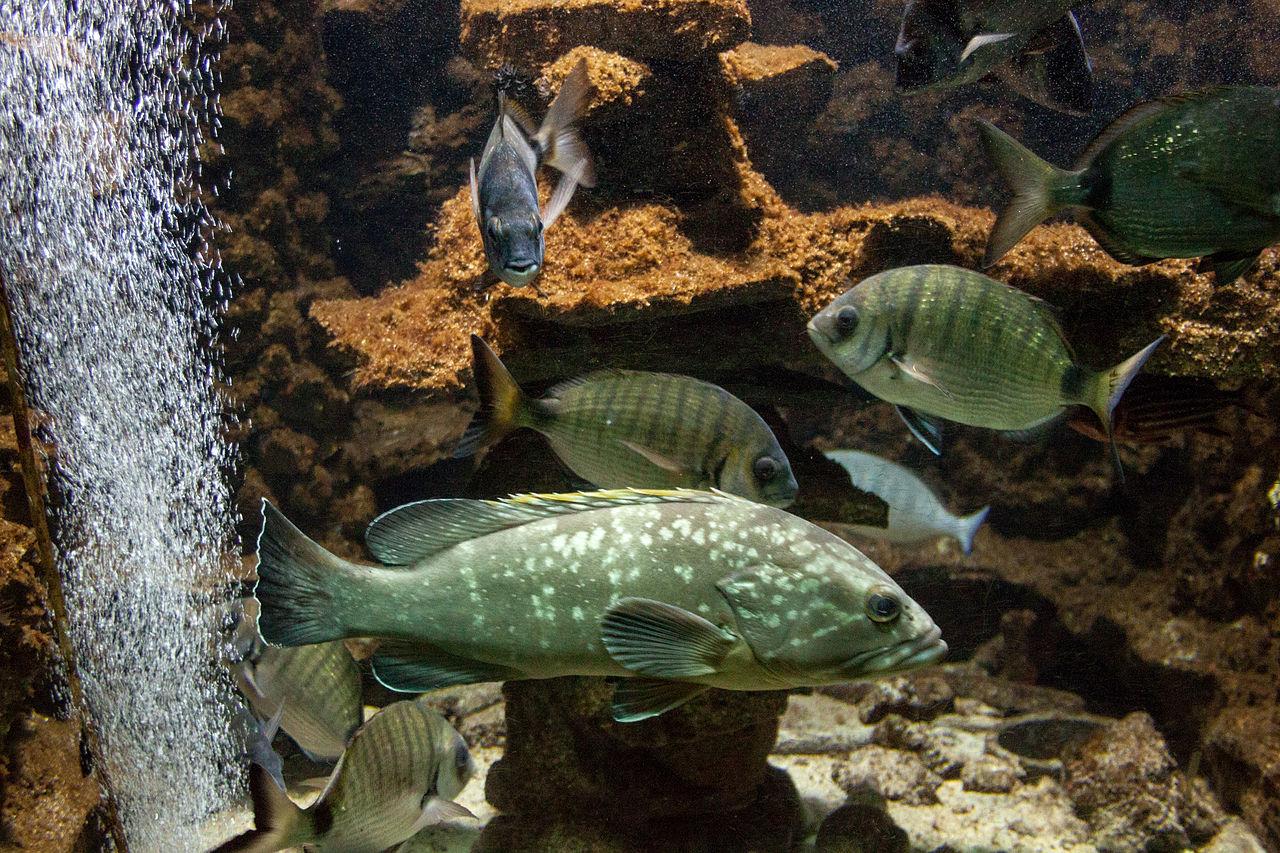 Aquarium umbra aquarium umbra file rhodes aquarium sciaena for Umbra fish hotel